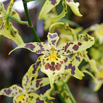 Maclellanara Pagan Love Song x Oncidium Tiger Hamburhen